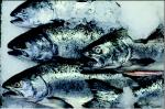 Vacuum Verpakken van Vis