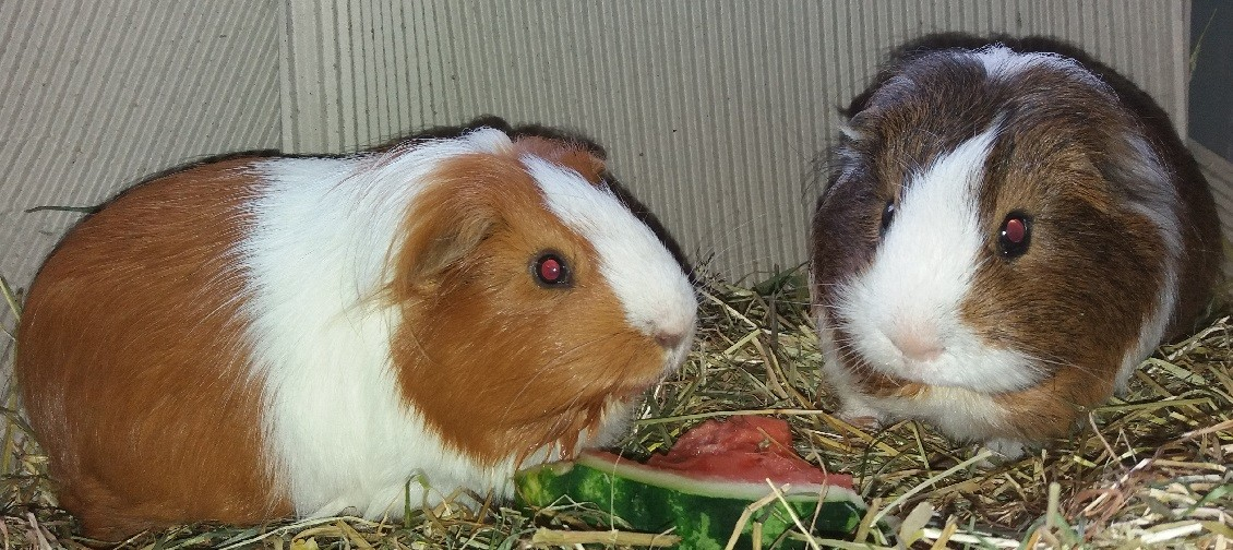 Cavia Supplementen